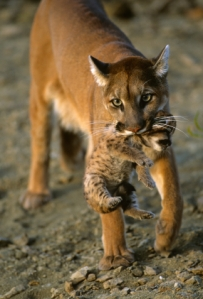 This is what a real Cougar looks like!