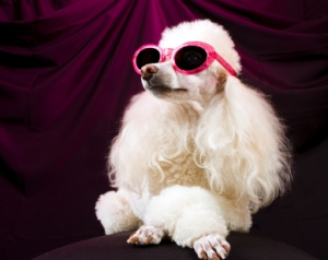 movie star poodle